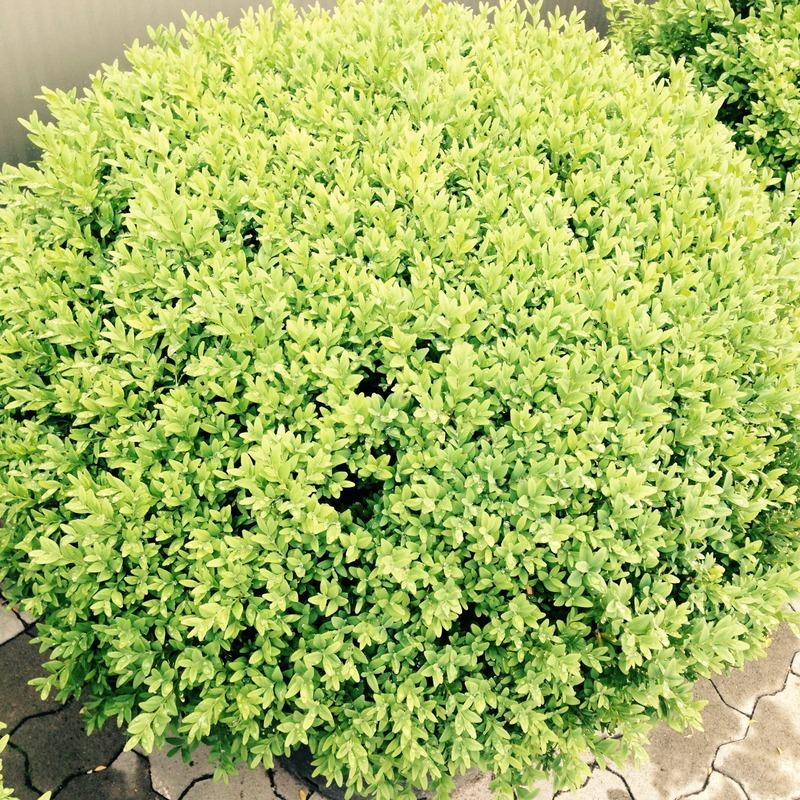 Buchsbaum Buxus Golden Dream