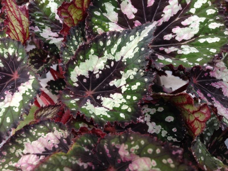 Grünpflanzen Rex Begonia, Königs-Begonie