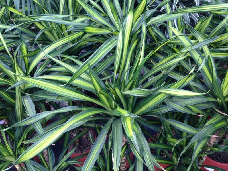 Grünpflanzen Yucca, Palmlilie