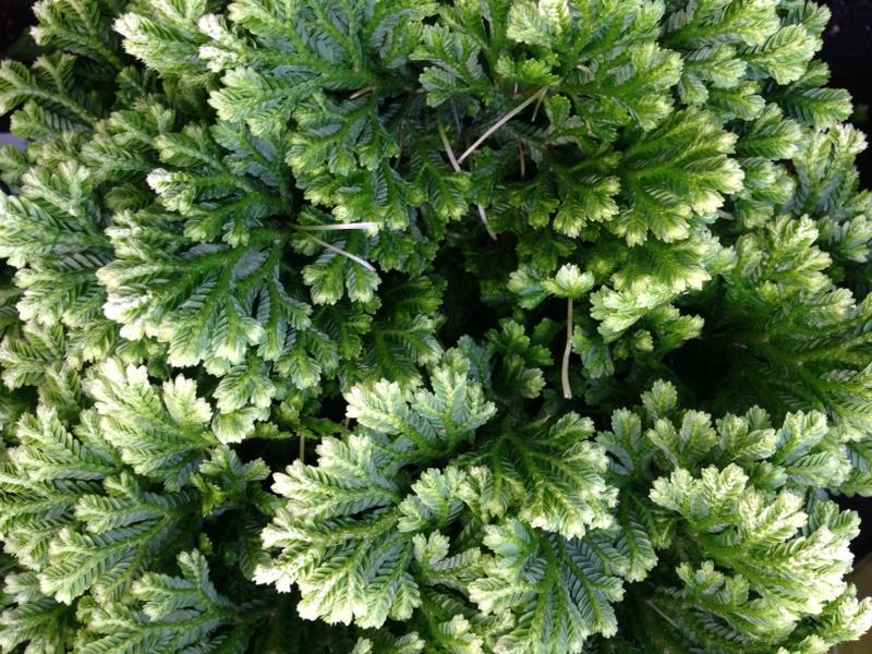 Grünpflanzen Selaginella, Moosfarn
