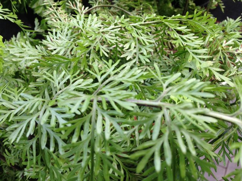 Grünpflanzen Grevillea, Silbereiche