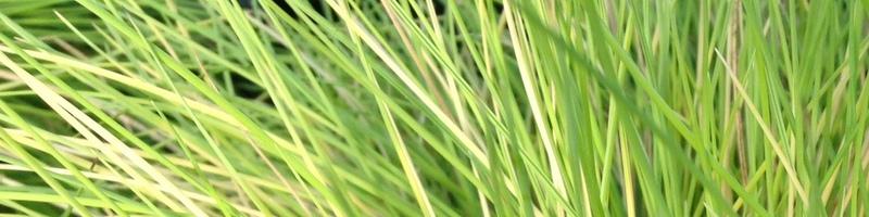 Gräser Festuca Golden Toupee