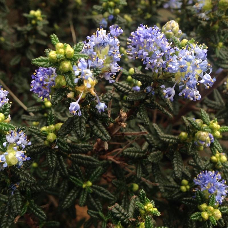 Ziergehölze Ceanothus, Säckelblume