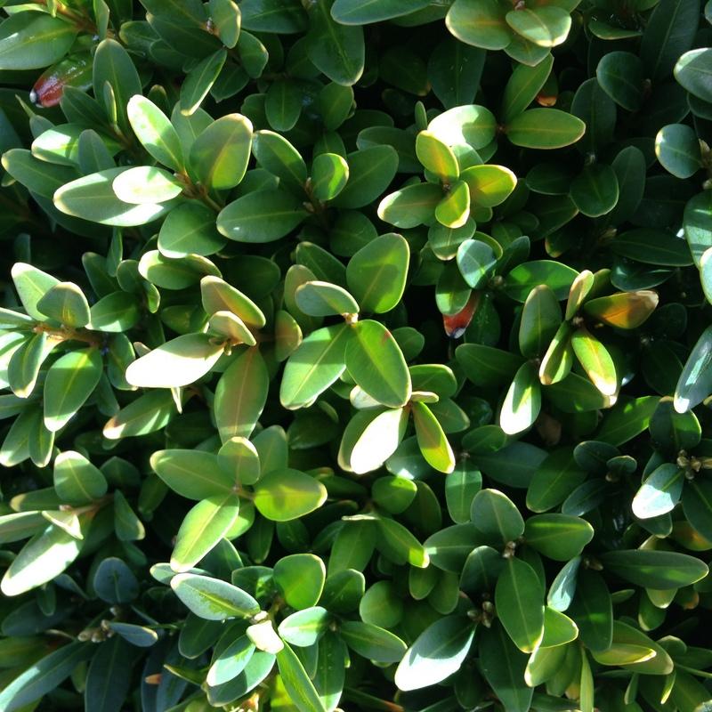 Buchsbaum Buxus sempervirens