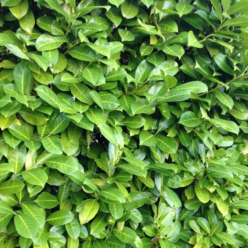 Heckenpflanzen Prunus laurocerasus, Kirschlorbeer