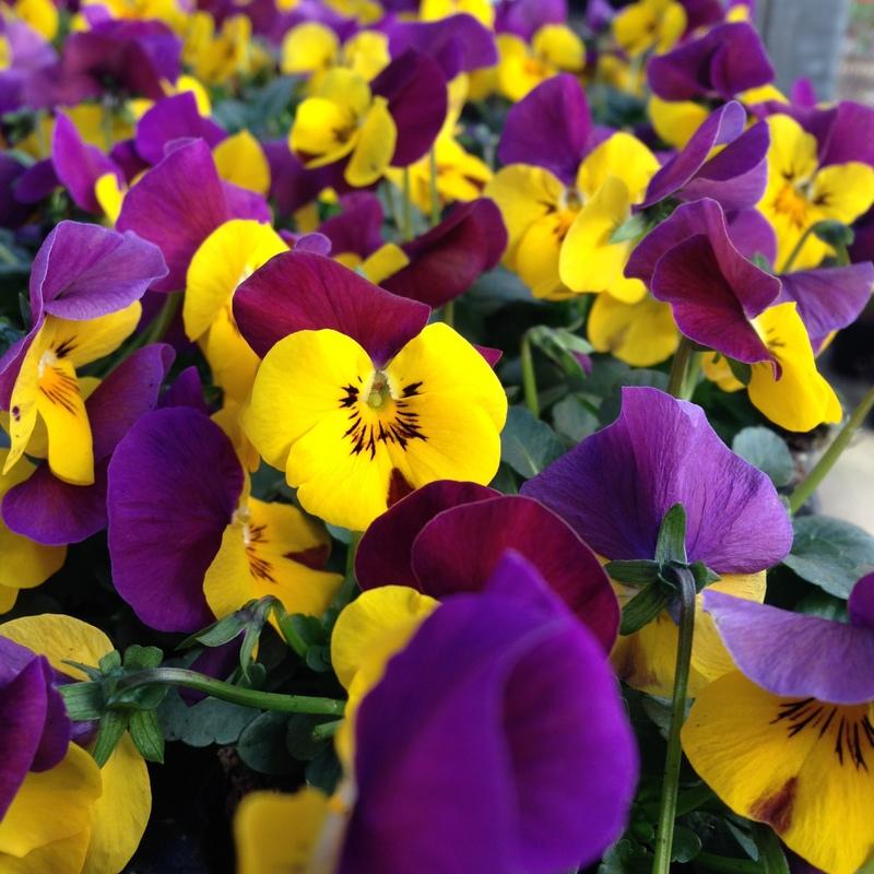 Frühling Viola cornuta