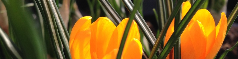 Frühling Crocus