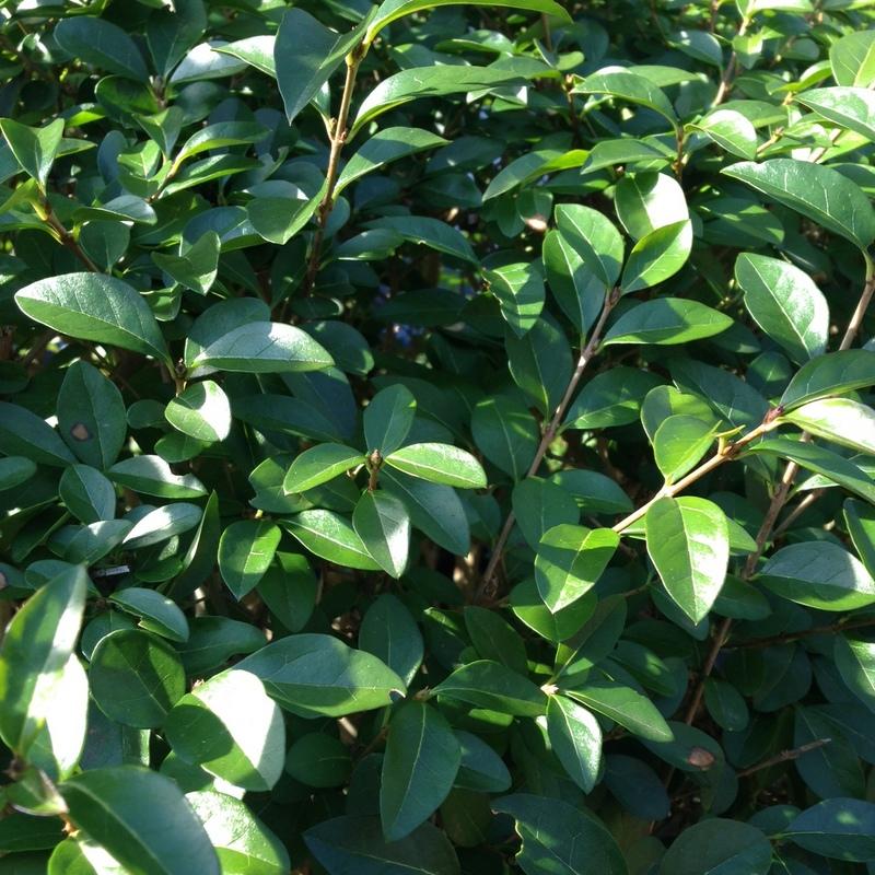 Heckenpflanzen Ligustrum, Liguster
