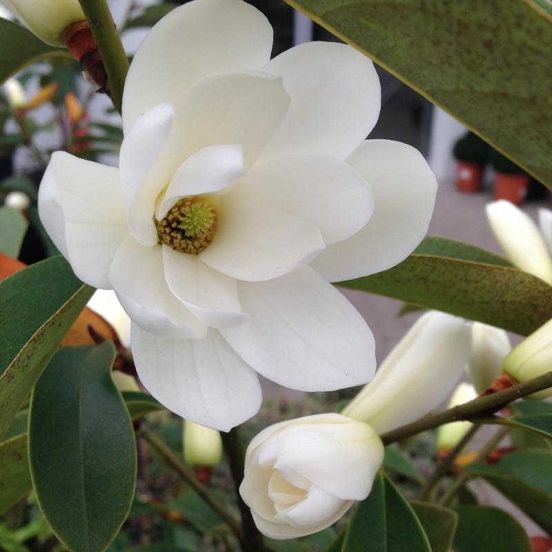 Ziergehölze Magnolia, Magnolie