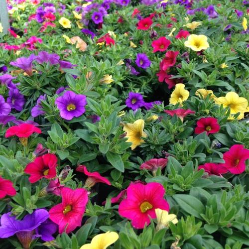 Sommerblumen Petunie carneval