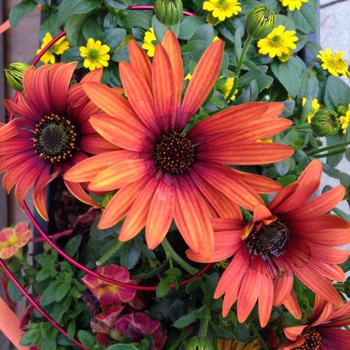 Beet- und Balkonpflanzen Sommer