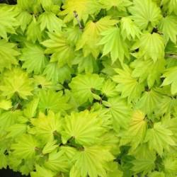 Ahorn, Acer palmatum Aureum