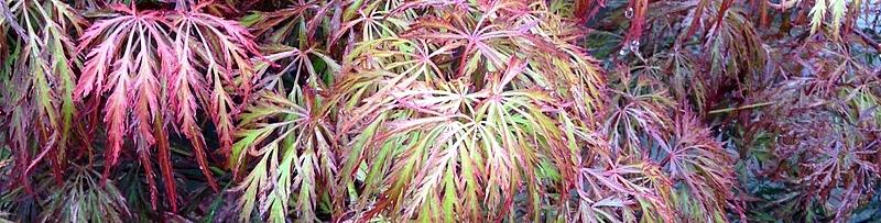 Ahorn, Acer palmatum Garnet