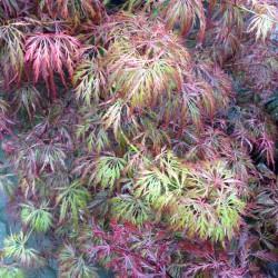 Ahorn, Acer palmatu Garnet