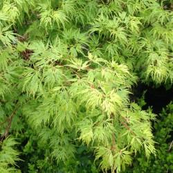 Ahorn, Acer palmatum dissectum