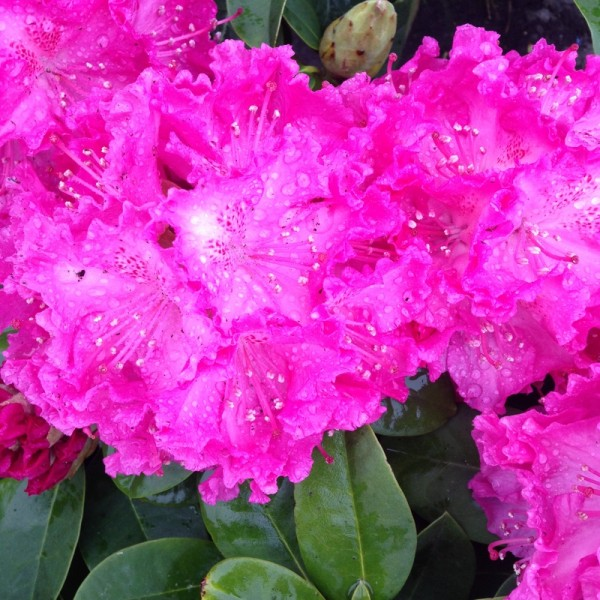 Baumschule, Rhododendron