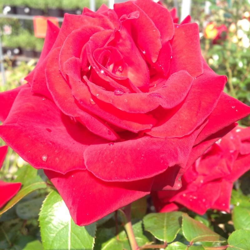 Pflanzen Rosen1