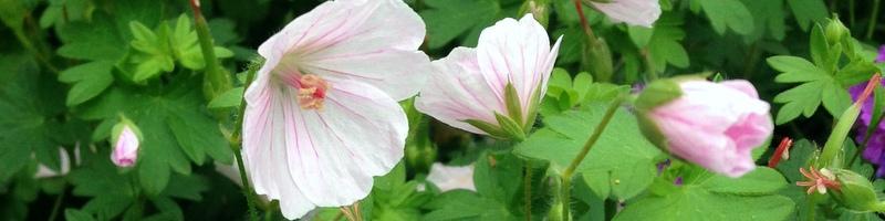 Bodendecker Geranium sanguineum