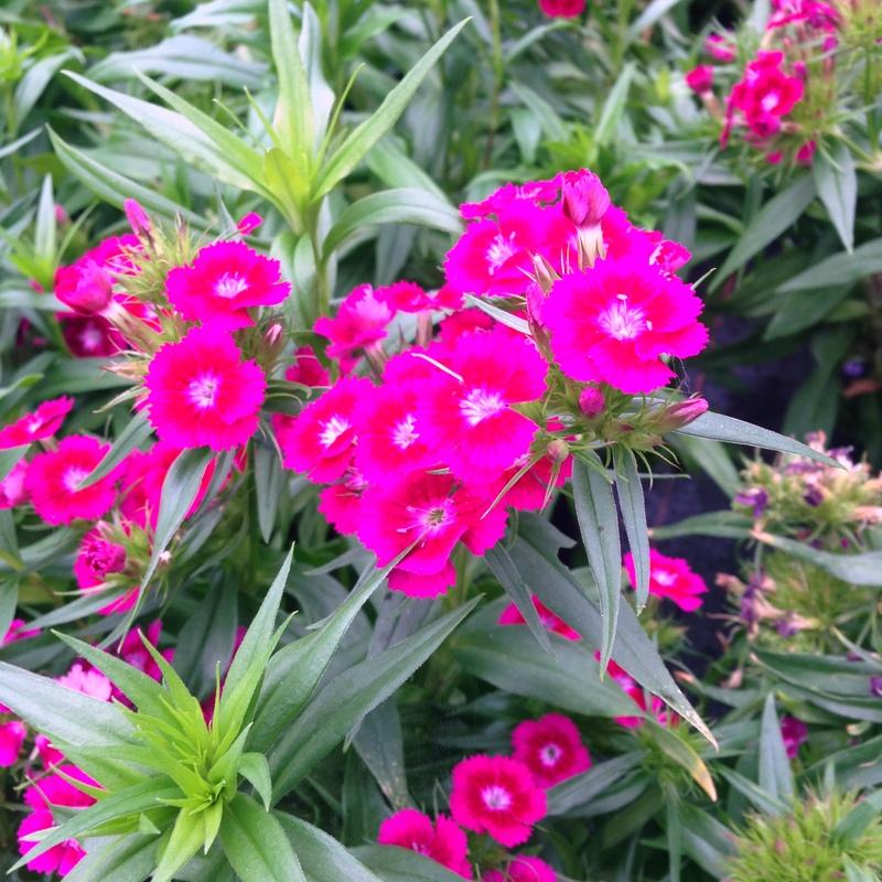 Stauden Dianthus barabatus