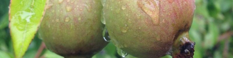 Obstgehölze Header