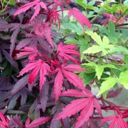 Ahorn, Acer palmatum Festival Multicolor