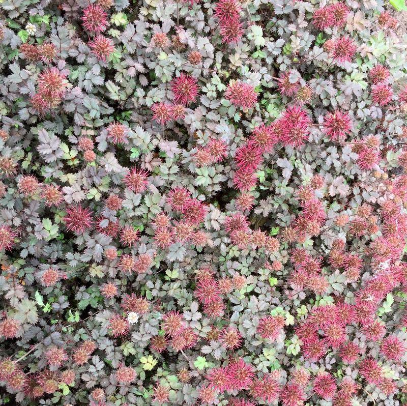 Bodendecker Acaena microphylla