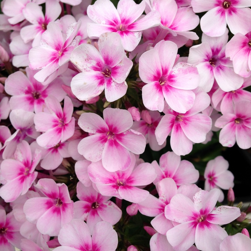 Stauden Phlox paniculata light pink