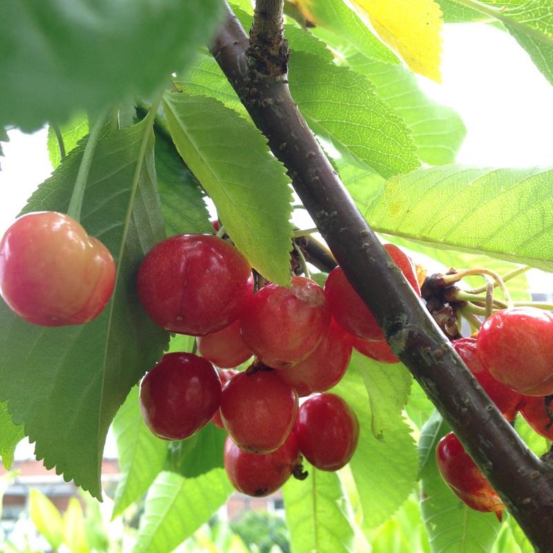Pflanzen Prunus avium, Kirschbaum
