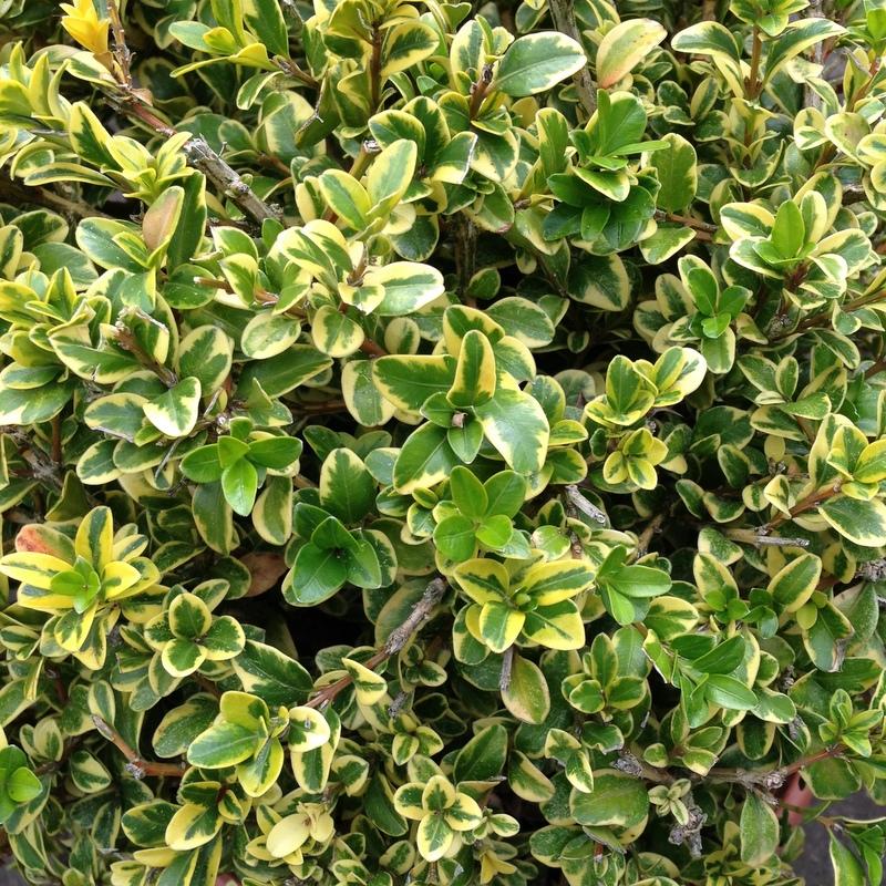 Buchsbaum Buxus variegata