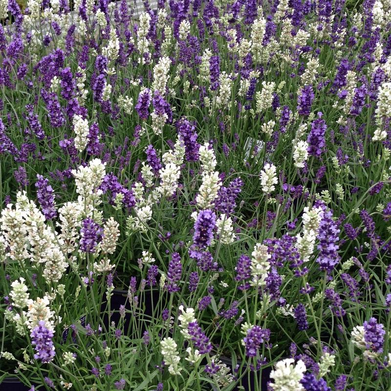Stauden Lavandula angustifolia Hidcote, Lavendel