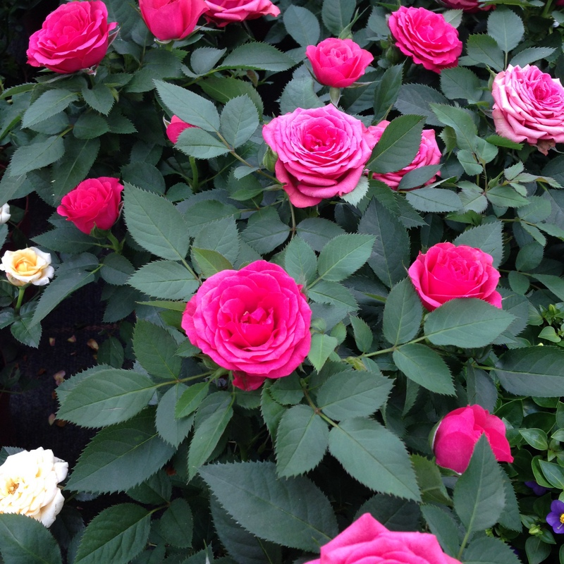 Blühende Pflanzen, Zimmerrose