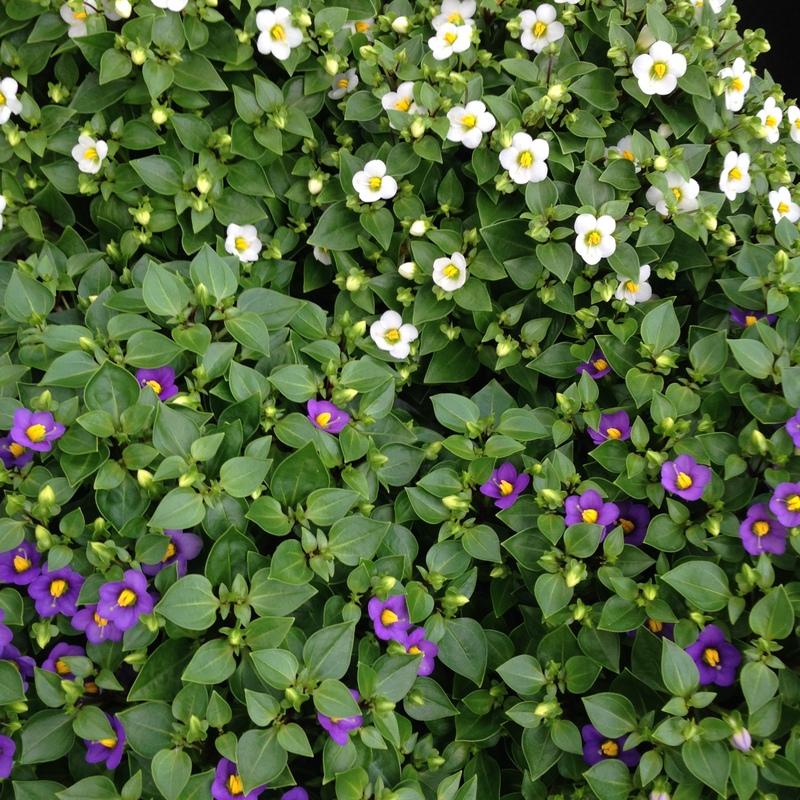 Blühende Pflanzen, Exacum affine, Blaues Lieschen
