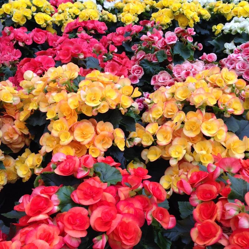 Blühende Pflanzen, Begonia elatior, Begonie