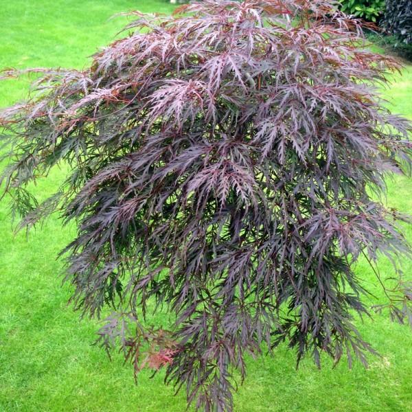 Acer palmatum Stamm