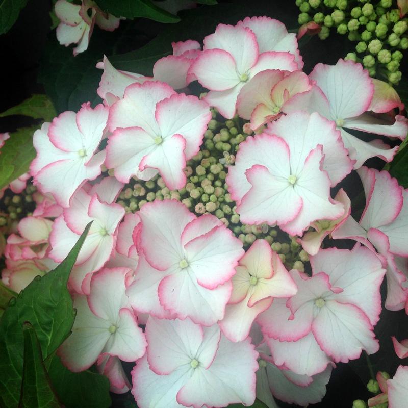 Hortensien Hydrangea 1