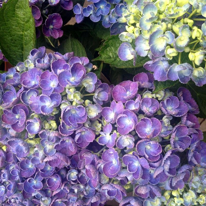 Hortensien Hydrangea hovaria Hopcorn