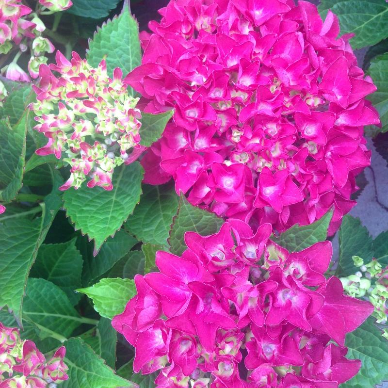Hortensien Hydrangea macrophylla Hot Red