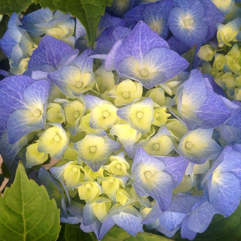 Hortensien Hydrangea macrophylla Bela Blau