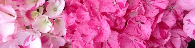 Hortensien Hydrangea hovaria Sweet Fantasy