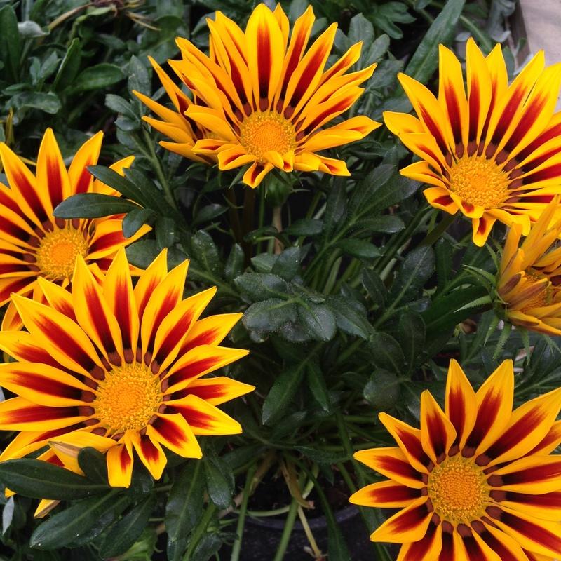 Sommerblumen Gazanie, Mittagsgold