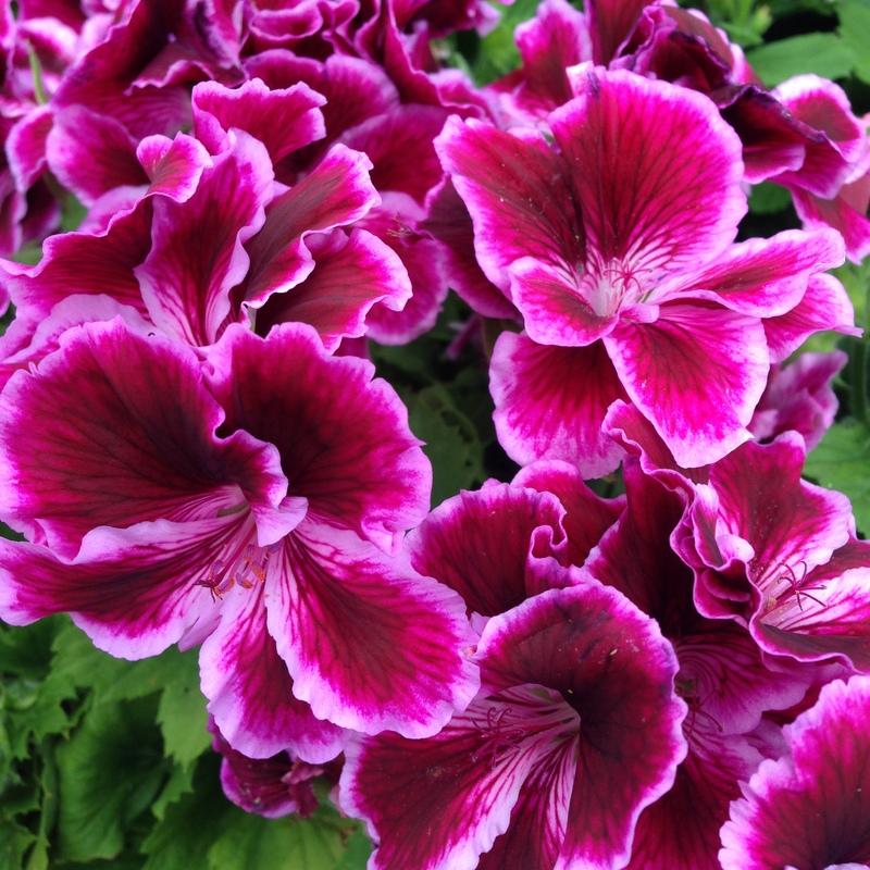 Sommerblumen Pelargonium Grandiflorum, Edelgeranie