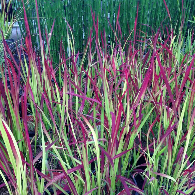 Gräser Imperata cyl. Red Baron