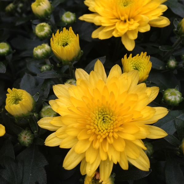 Chrysanthemum multiflora, Chrysantheme