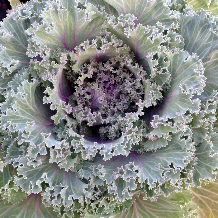 Brassica oleracea, Zierkohl