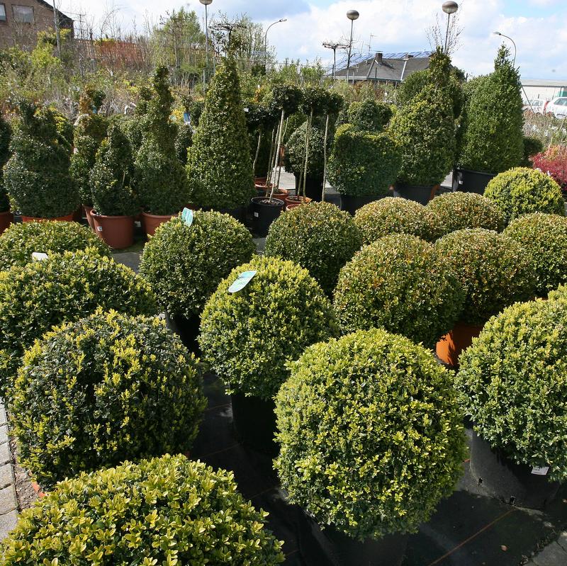 Buchsbaum Buxus Kugeln
