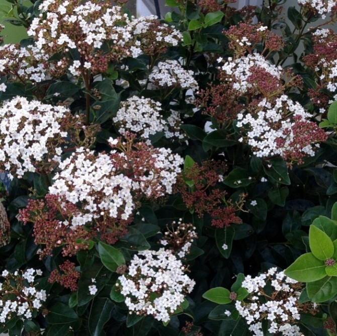 Viburnum Lisa Rose